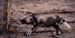 Premier pas dans la Savane pour cet adorable bébé Wild Dog.