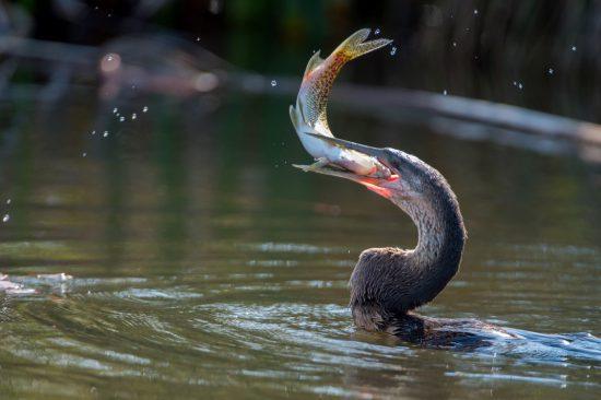 Fisch in der Klemme