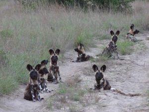 Les chiens sauvages d'Afrique se déplacent toujours en groupe pour faire face aux dangers .