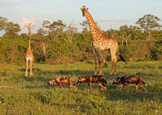 Giraffen und Hyänen