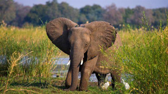 Elefantenbaby in grüner Graslandschaft am Wasser stellt seine Ohren auf