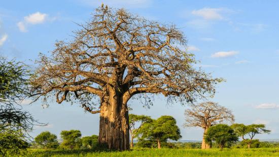 Árvore baobá, Tarangire