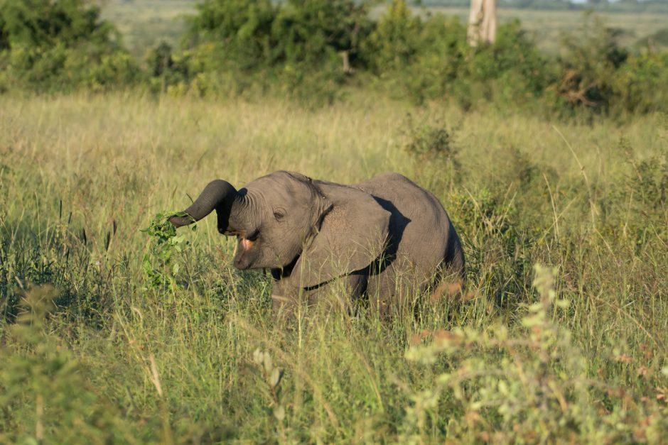 Elephantenjunges in Wiese