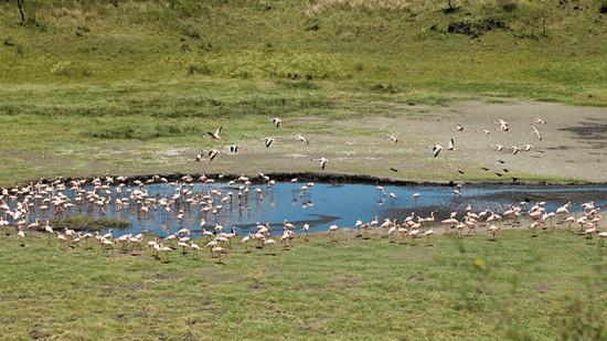 Flamingos, Parque Nacional Arusha