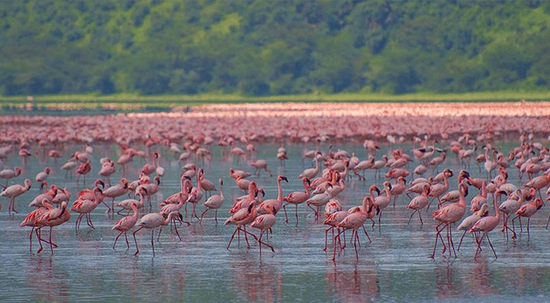 Le lac Manyara couvert de flamants roses