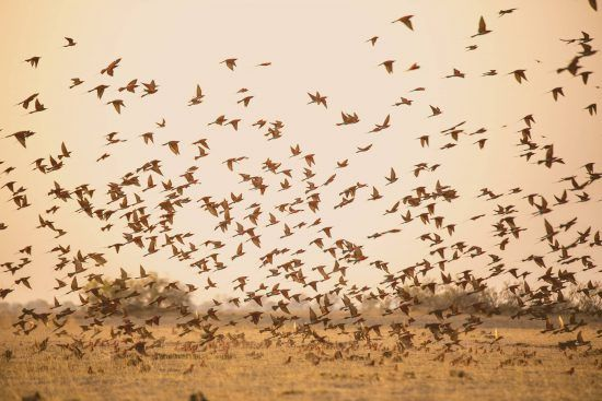 Ein Vogelschwarm bei Kings Pool in Botswana