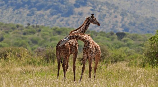 Girafas, Tarangire