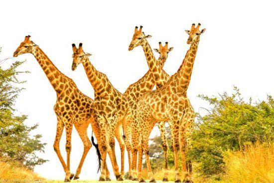 Giraffes group