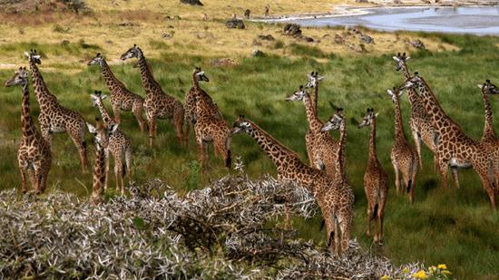 Girafas, Parque Nacional Arusha