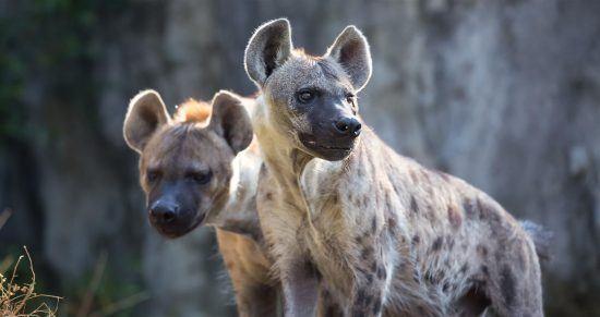 La hiena, sospechosa habitual