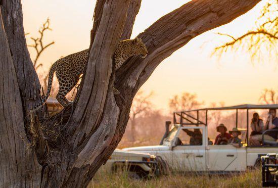 Safari en voiture tout-terrain en Afrique et léopard sur la branche d'un arbre à l'aube.