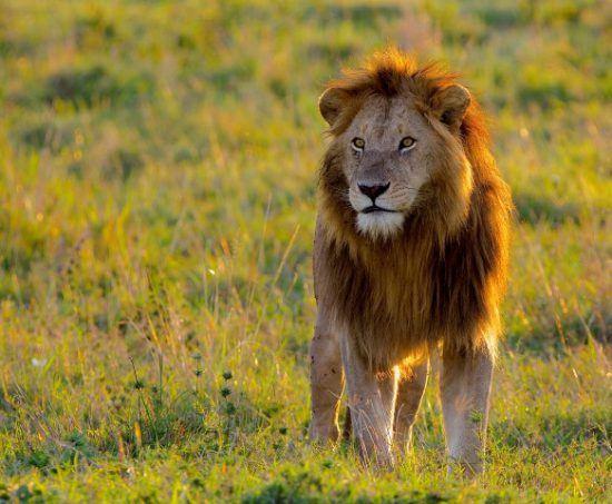 Löwe bei Sonnenuntergang