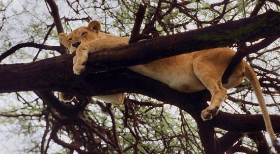 Leão em árvore no Parque Manyara