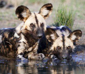 Couple de chiens sauvages d'Afrique buvant dans un lac d'un réserve privée.