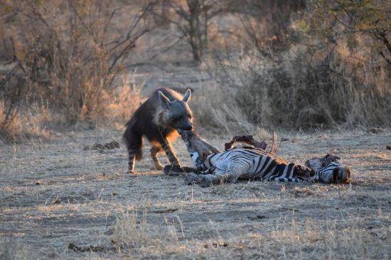 Hyäne frisst Zebra