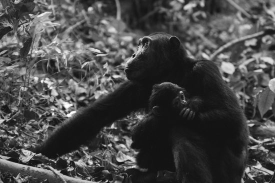 Chimpanzee mother and her baby in black and white