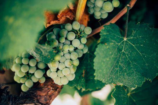 Trauben in Weinreben