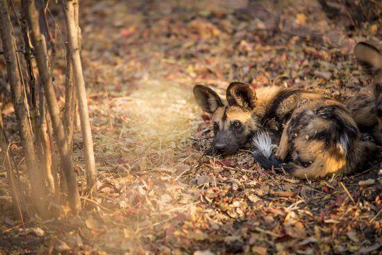 Ein Afrikanischer Wildhund liegt im Laub - außergewöhnliche Tiere in Botswana