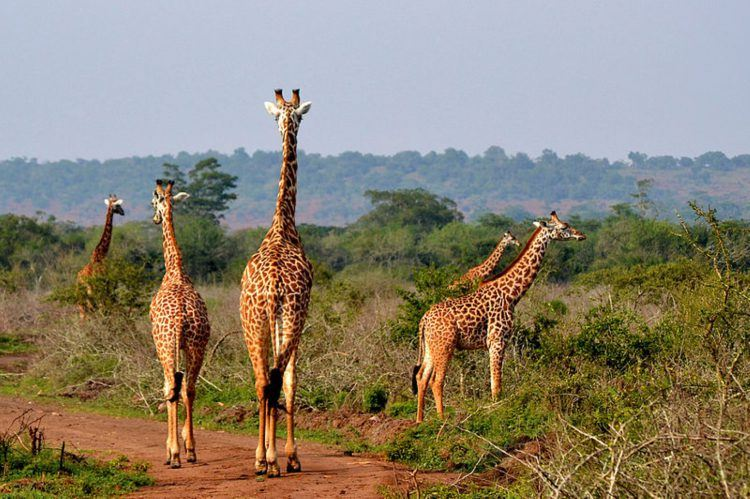 Giraffes in the Akagera National Park in Rwanda