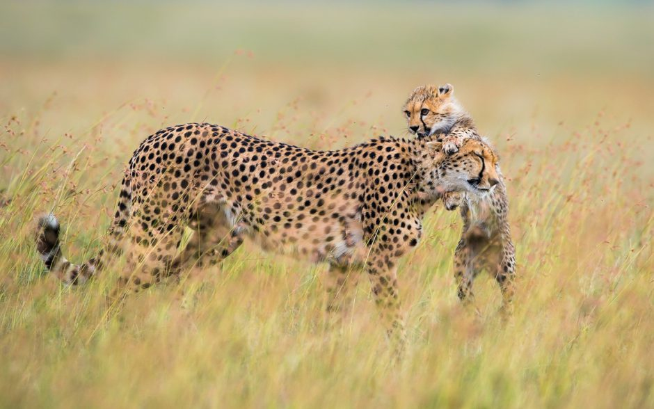Un petit guépard joue avec sa mère dans la savane.