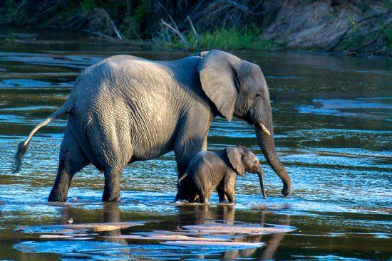 Elefantes paseando por las aguas