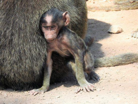 Affenjunges im Schutz der Mutter