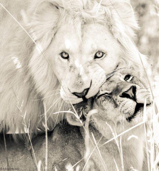 Weiße Löwen kuscheln