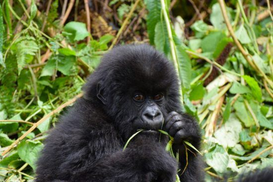 A young gorilla munches