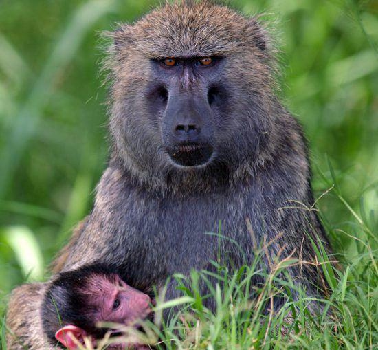 Pavianmutter säugt Baby