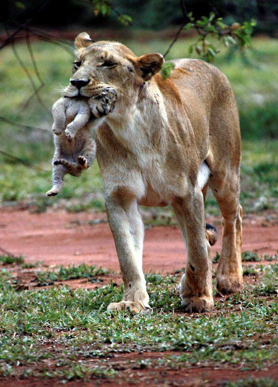 Löwenmutter mit Baby