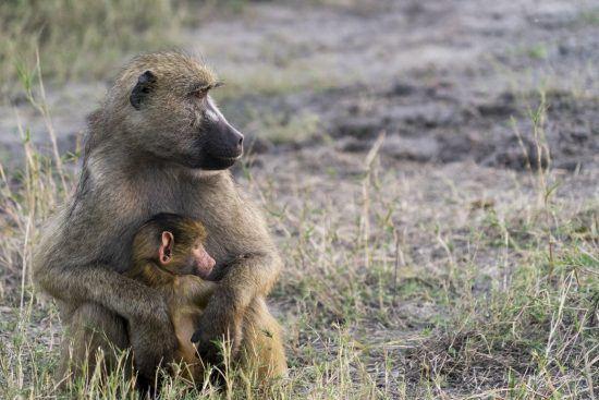Petit babouin qui se réfugie dans les bras de sa mère.