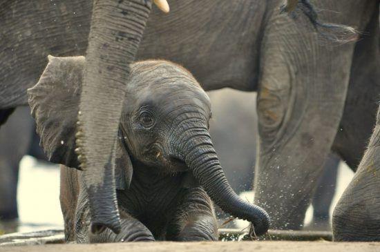 Elefantenbaby inmitten der Herde