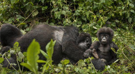 Gorillamutter mit Baby