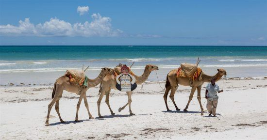 Camelos na praia de Mombasa, no Quênia