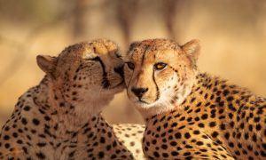 Guepardos tomam banho de sol na savana africana