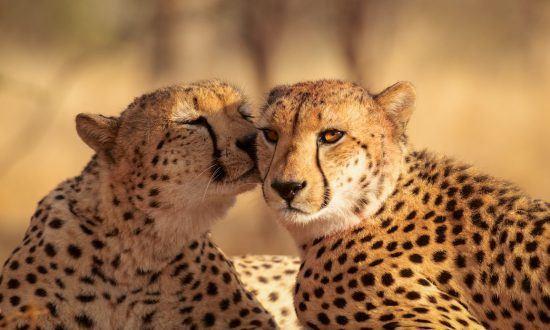 Geparden kuscheln in der Sonne