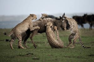 Eine Gruppe Geparden tötet ein Gnu - APOTY 2017 Gewinner Clement Kiragu