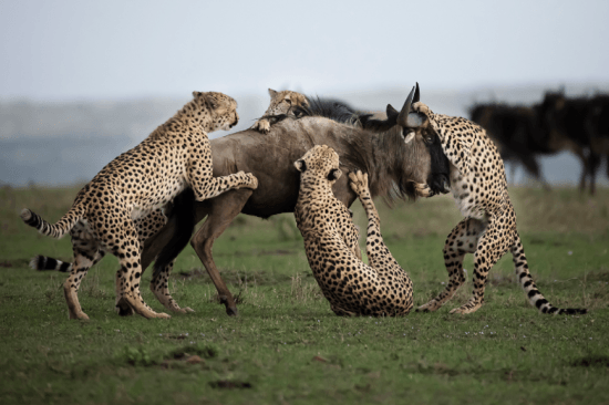 Cheetah kill in Maasai Mara in Kenya