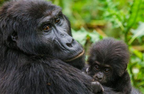Weiblicher Gorilla mit Baby auf dem Arm im grünen Regenwald