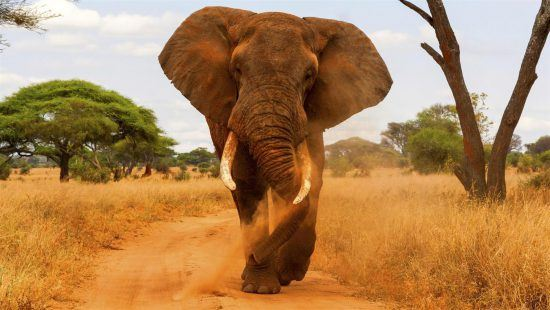 Éléphant dans le Parc National de Tarangire en Tanzanie.