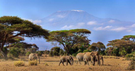 Elefanten im Vordergrund, dahinter der Kilimandscharo