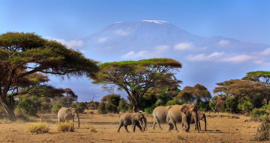 Elefanten ziehen durch die Savanne am Fusse des Kilimanjaro