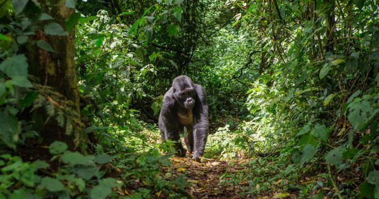 Gorilla walking in the rainforest