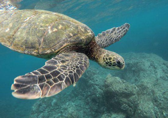 Eine Meeresschildkröte schwimmt durchs seichte Wasser - bedrohte Tiere in Afrika