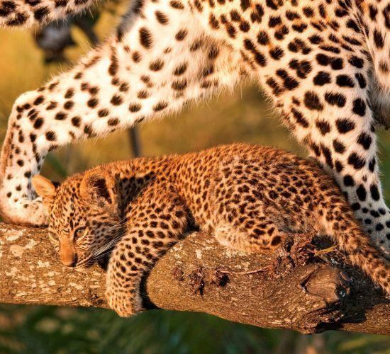 Leopardenbaby auf Baum