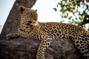 Descansando em uma árvore, leopardo olha para o horizonte