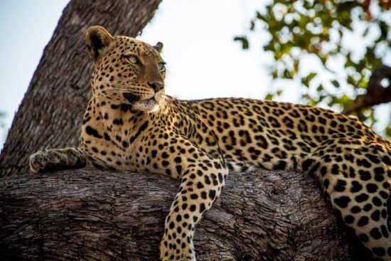 Ein Leopard liegt auf einem Baum und schaut in die Ferne