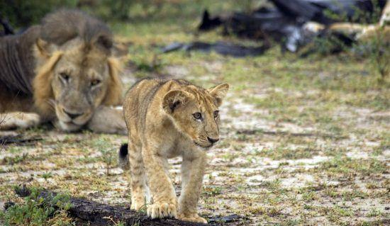Löwenbaby mit Mutter