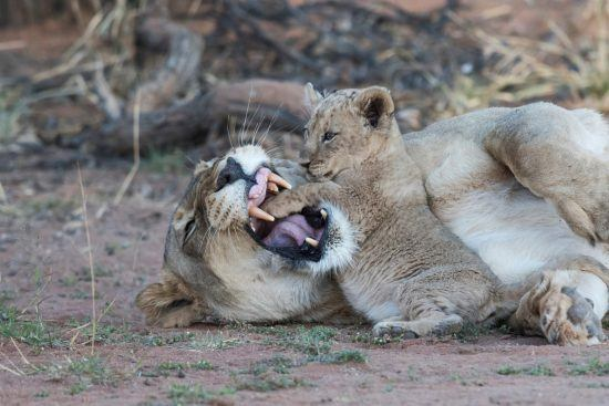 Löwenbaby spielt mit Mutter