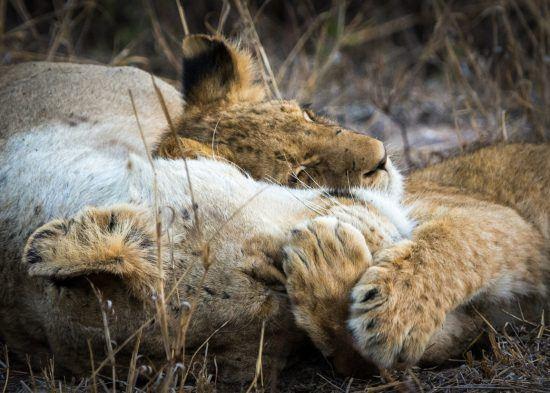 Löwenfamilie kuschelt sich in den Schlaf